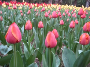 Tulips witness the matchmaking